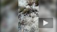 Видео: на Мебельной по сугробам скачет белая ласка