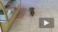 Видео: мама-утка вместе с утятами зашла в магазин ...
