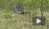 Медведь-людоед попытался сожрать двух нефтяников в Красноярском крае