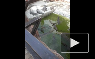 Кормёжка крокодилов