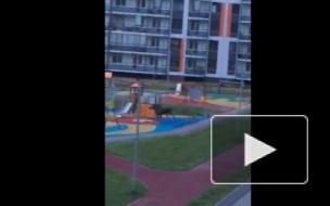 Жители Мурино снова увидели бегающего по дворам лосенка (видео)