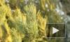 Питерские торговцы устанавливают запредельные цены на елки