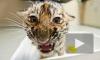 В Москве на пустыре нашли ящик с молодым амурским тигром