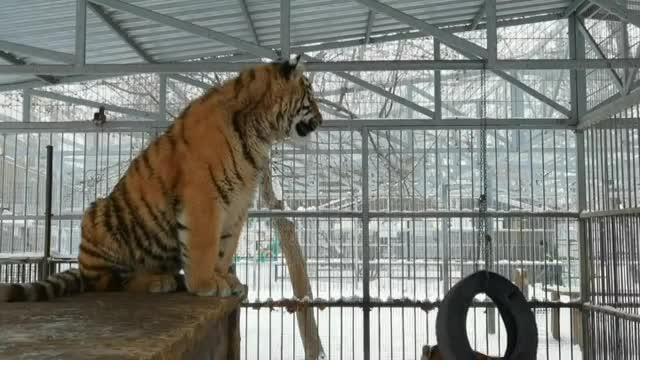 """""""Поющего"""" тигренка из Барнаульского зоопарка сняли на видео"""