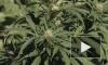 В России начаты исследования по использованию марихуаны в лечебных целях