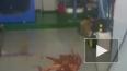 Забавное видео из Владивостока: гигантский осьминог ...