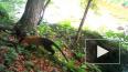 В Приморье фотоловушка сняла яркого тропического зверя -...
