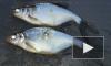 Новости с водоемов: рыбаки предпочитают Ладогу