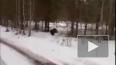 """Безбашенный"" глухарь напал на мужчину под Томском"