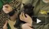 Родившихся в Петербурге малышей-ягуаров разлучили навсегда