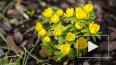 В первый день весны в Ботаническом саду зацвел весенник