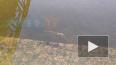 На набережной Крюкова канала на видео сняли рыбу-мутанта