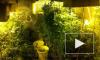 В Колпино и Понтонном нашли марихуановые плантации
