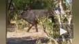 Буйвол напугал львов в национальном парке в Ботсване