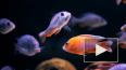 У африканских рыб появилась способность продлевать ...