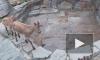 В Московском зоопарке родились дагестанские туры