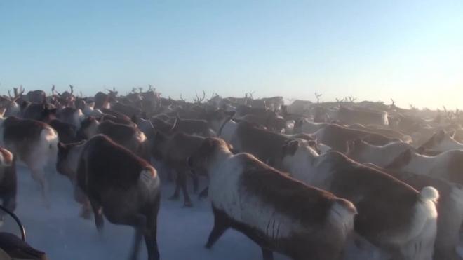 Петербуржец заплатил за убийство двух северных оленей 180 тыс рублей, но все равно отправится под суд