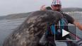 Милое видео из Великобритании: Дружелюбный тюлень ...