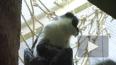 Впервые за 15 лет в Московском зоопарке родилась краснок...