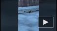 Видео: на канале Грибоедова неизвестный решил пробежаться ...
