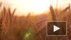 Стоимость российской пшеницы бьет многолетние рекорды