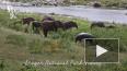 Одинокий бегемот вырвался из окружения слонов и скрылся ...