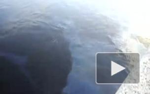 У Аничкова моста в Петербурге моста плавают нефтяные пятна