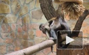В Ленинградском зоопарке выбрали имя для малыша-капуцина