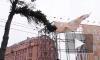 Сильный ветер будет валить деревья в Петербурге