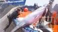 Голубой тунец под угрозой уничтожения