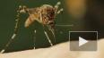 Ученый сообщил о возможном исчезновении комаров из-за ...