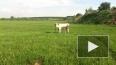 Перевозбужденный бык поднял на рога и до смерти затоптал ...