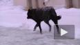 В Петербурге задержали хозяек злобных собак, искусавших ...