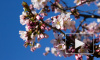 В  Ботаническом саду Петербурга зацвела сакура