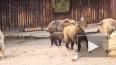 В Московском зоопарке родился малыш краснокнижного ...