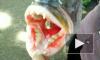 Рыбаки поймали морское чудище с человеческими зубами