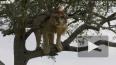 Видео: лев не мог слезть с дерева, так как как ему ...