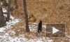 "Круче ""Мадагаскара"": дружба амурского тигра со смелым козлом попала на видео"
