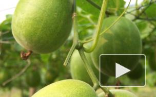 Китайские ученые нашли фрукт, который замедляет процесс старения