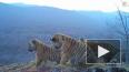 Уникальное видео: Сразу четыре тигренка попали на ...