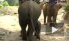 В Таиланде бешеный слон растоптал двух одесситов