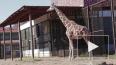 Жирафиха Соня из Ленинградского зоопарка не оценила ...