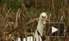 Белый лебедь медленно погибает в болоте у петербургского кладбища