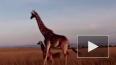 Кения: Жестокая битва льва и жирафа с детенышем попала ...