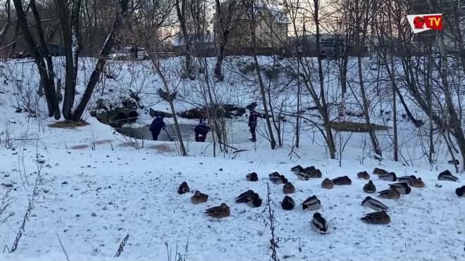 В Ярославле спасли более 350 диких уток
