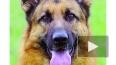 Полицейские собаки Петербурга пока что останутся бездомн...