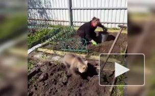 """""""Обычное"""" видео умилило соцсети: Медвежонок помогает в огороде"""