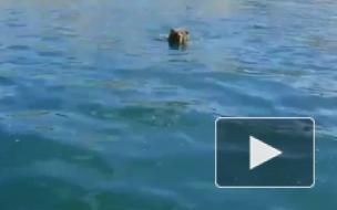 Видео: На Байкале туристы на лодке застрелили плывущего медведя