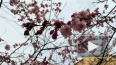 В Петербурге цветущая сакура заставляет прохожих нарушат...