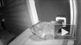 """Видео: """"Сторожевой"""" кот избил и прогнал енота, который ..."""